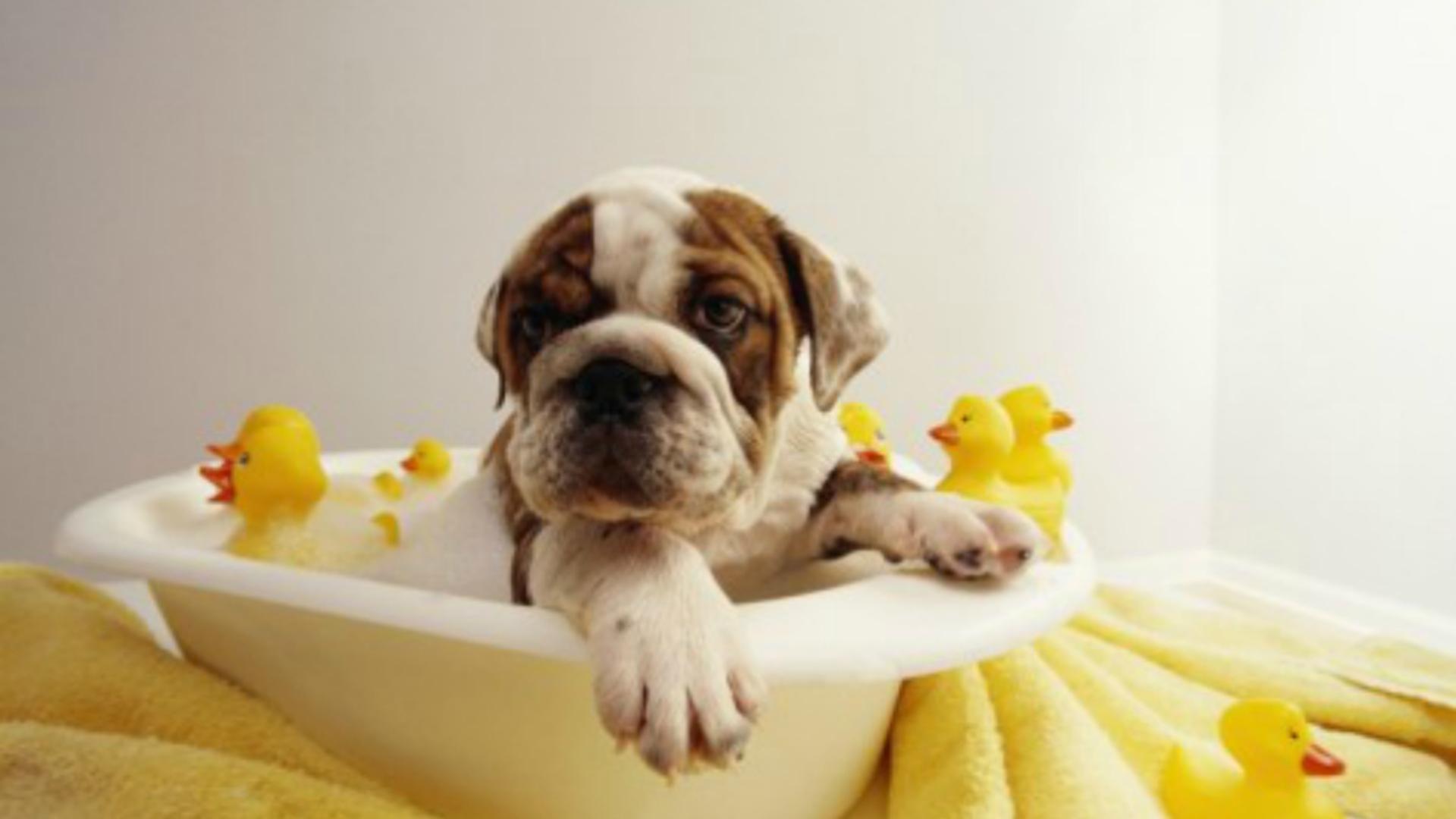 Angol bulldog fürdés közben