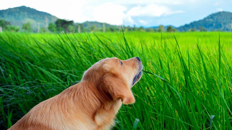 Miért esznek füvet a kutyák