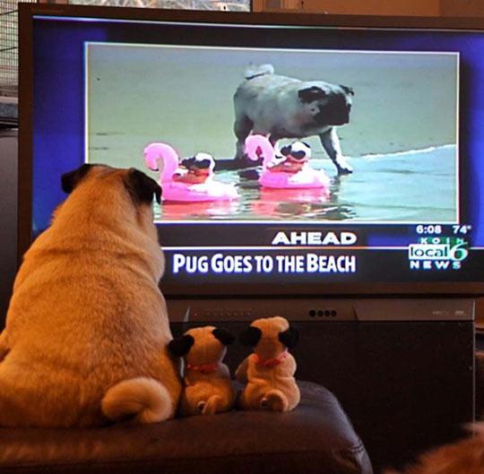 Mopsz tévénézés közben