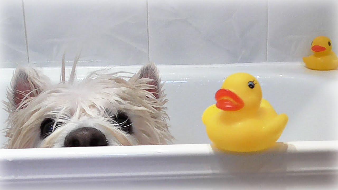 Westie fürdetése