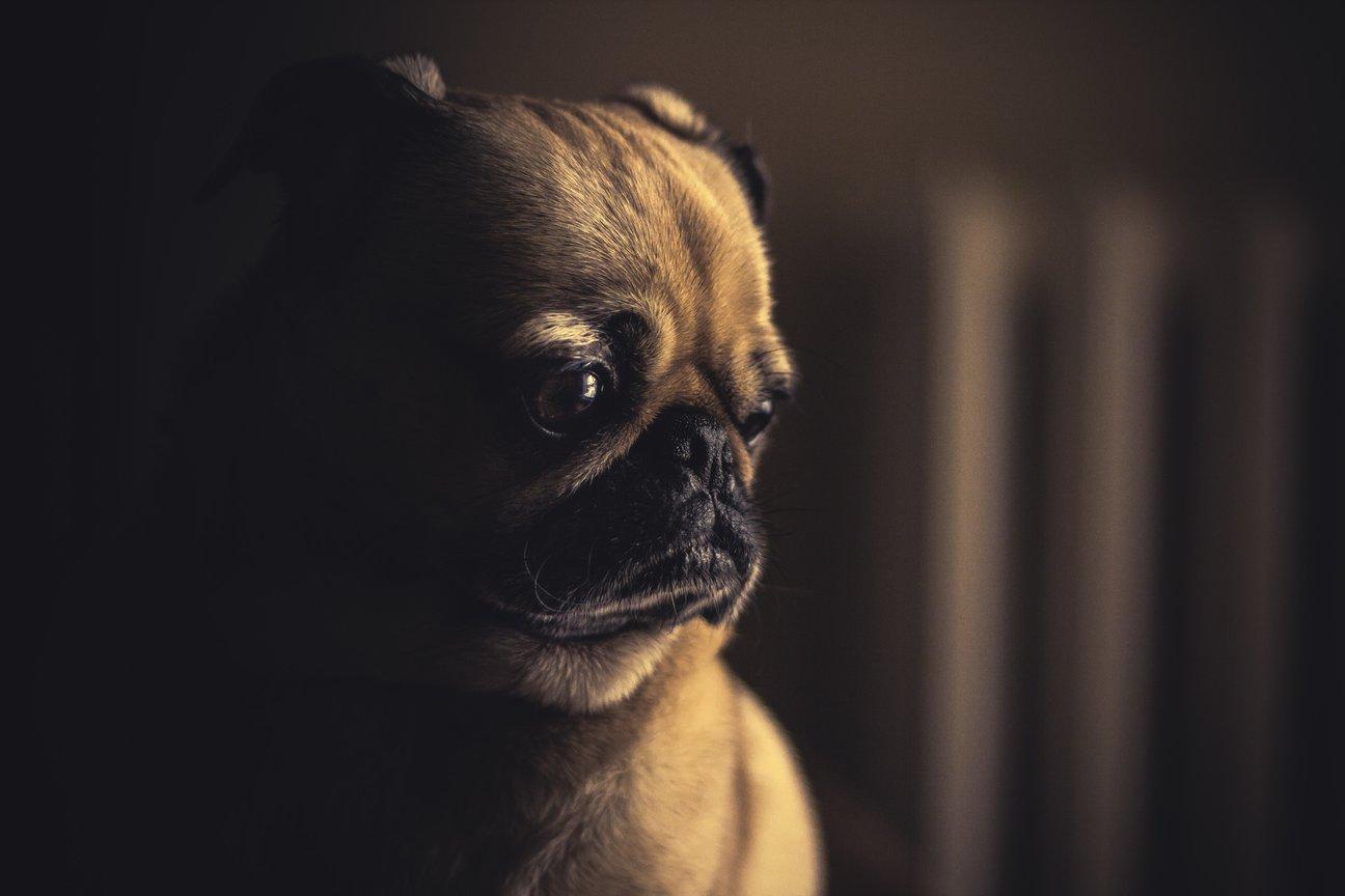 A rák korai felismerése kutyáknál - 12 árulkodó jel - Egészség - Mopsz szaga a szájból