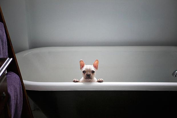 francia bulldog fürdetés