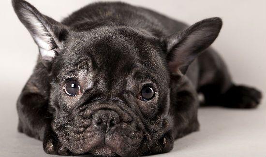 francia bulldog ráncok
