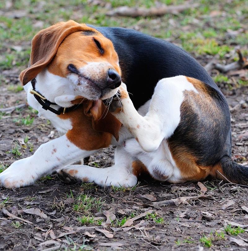 beagle bőrprobléma