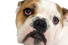 eladó bulldog