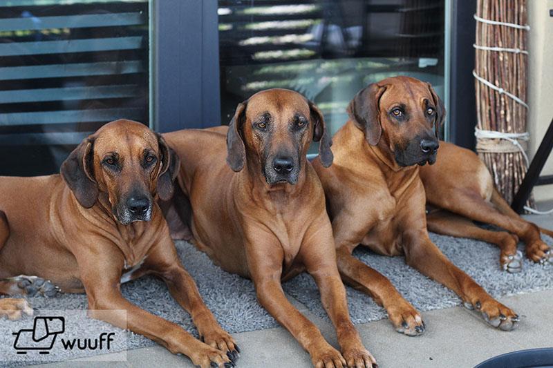 rhodesiai ridgeback kutyák