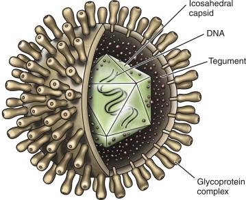 herpeszvírus